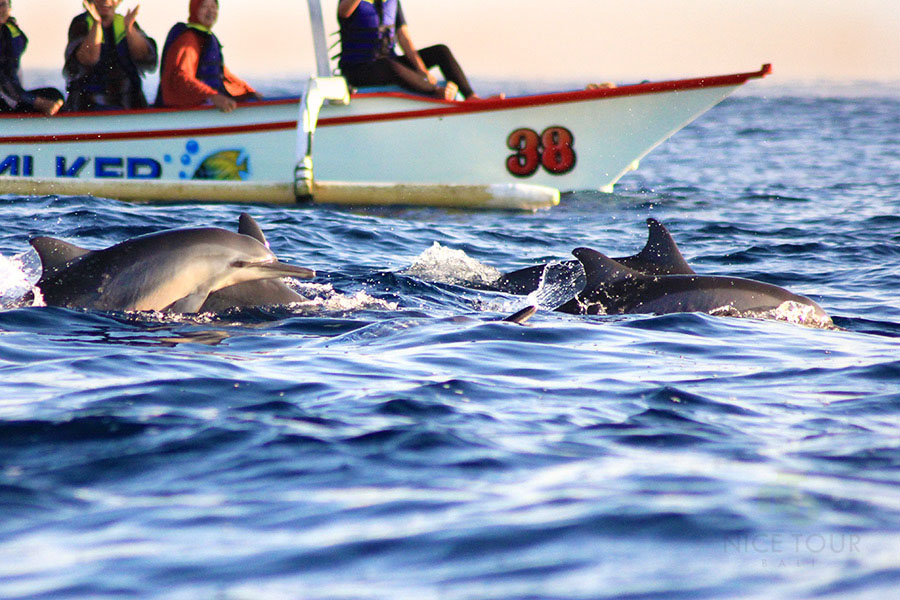 Sunrise Dolphin Sighting in Lovina: Just wow!