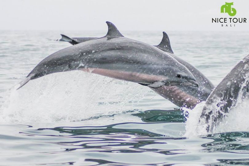 Dolphin watching at Lovina Beach