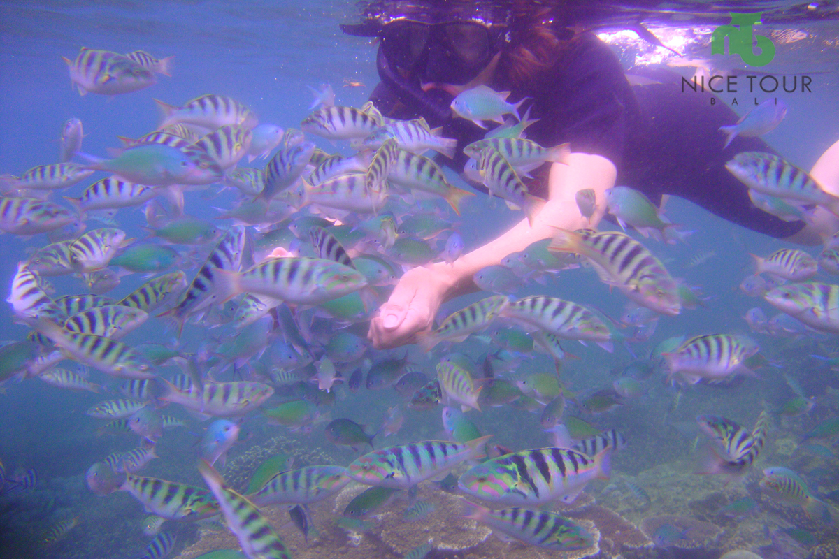 Fish Feeding Snorkeling at Mangrove Point Lembongan