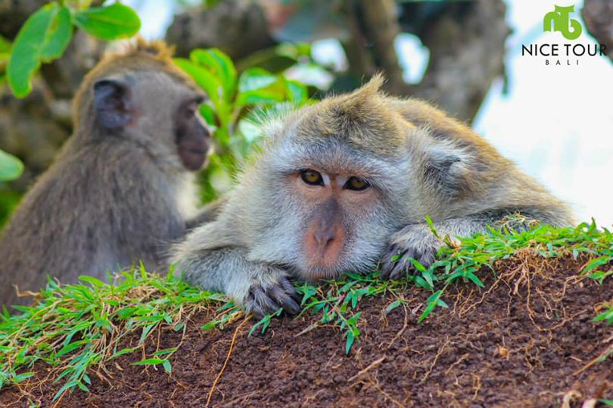 Some of Monkey in Uluwatu Temple