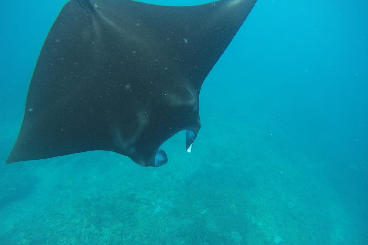Snorkeling Manta Point