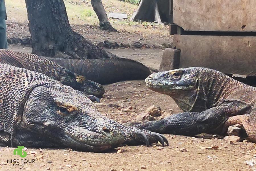 Komodo dragons at Rinca Island